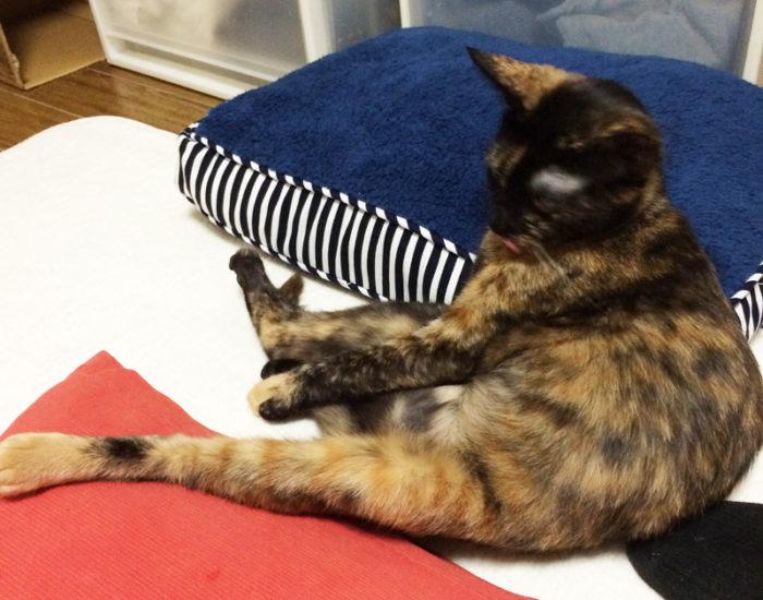 スコ座りっぽいサビ猫おビビ
