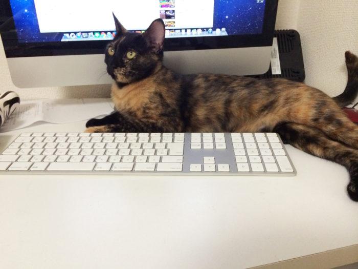 パソコン作業ると邪魔するサビ猫おビビ