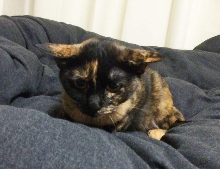 イカ耳のサビ猫おビビ