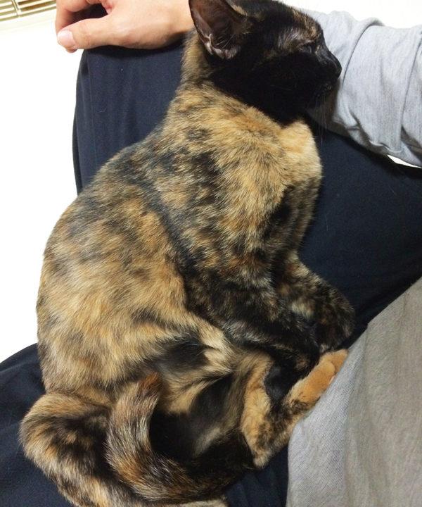 膝の上で甘えるサビ猫おビビ