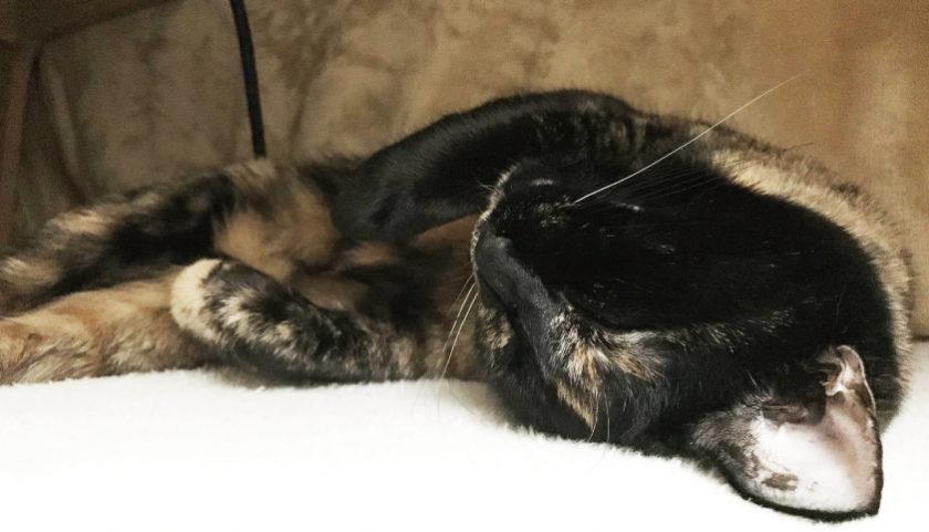 こたつ 寝る サビ猫