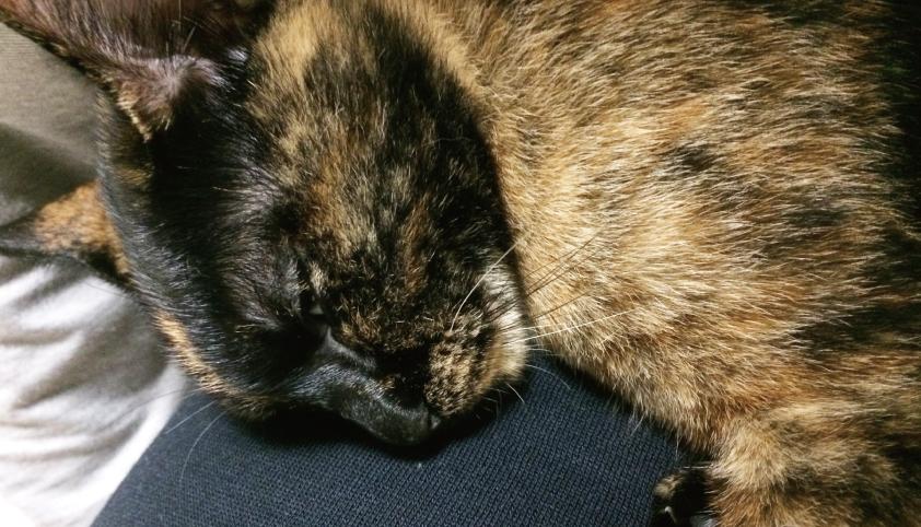 サビ猫,寝てる