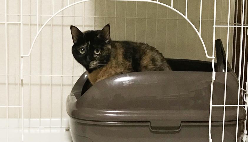 サビ猫,トイレ,可愛い