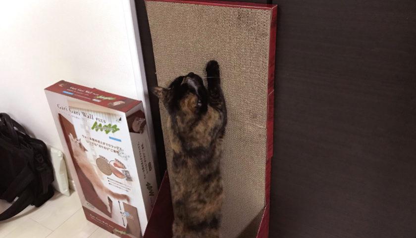 ガリガリウォールスクラッチャー で爪をとぐサビ猫