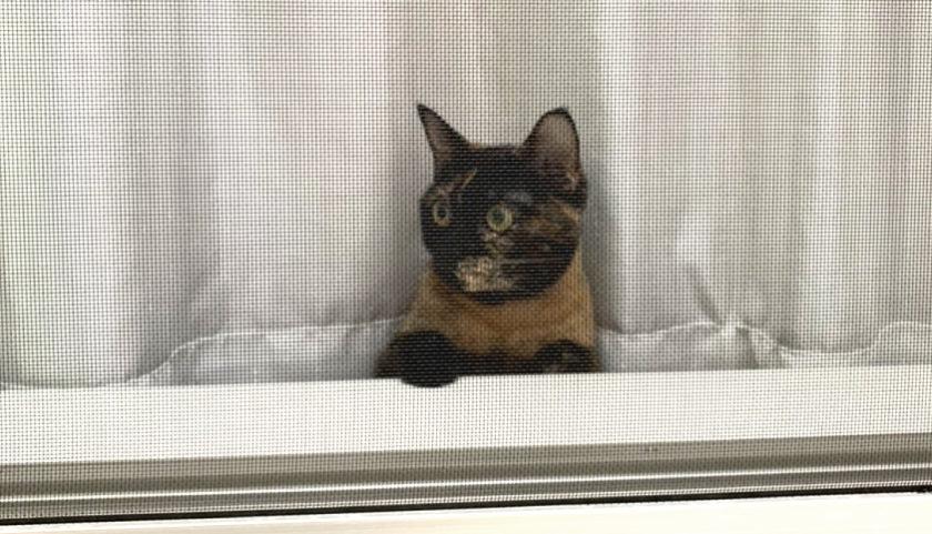 外の様子を伺うサビ猫