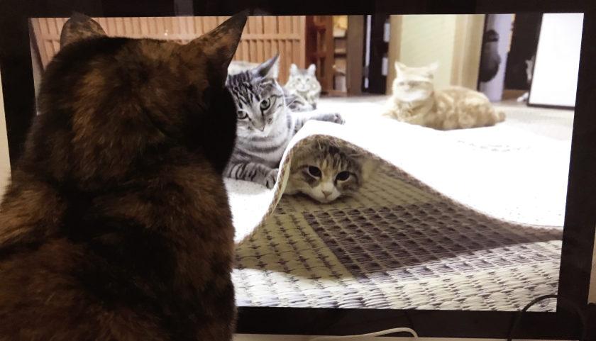 猫動画を見るサビ猫