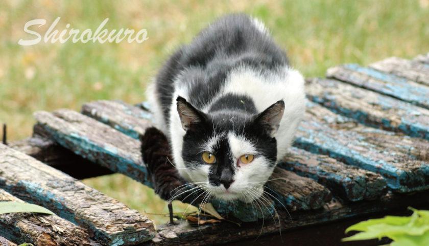 白黒猫を飼いたい理由