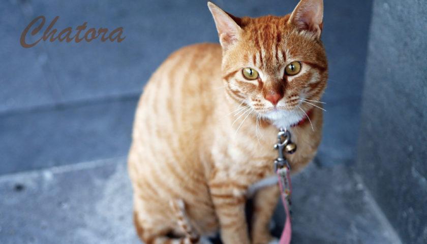 茶トラの猫を飼いたい理由