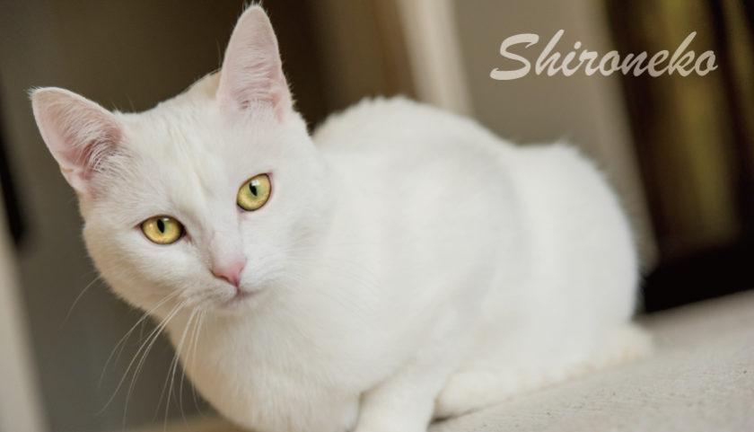 白猫を飼いたい理由