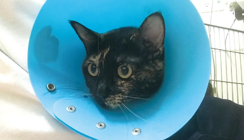 猫 手術 面会 肥満細胞種