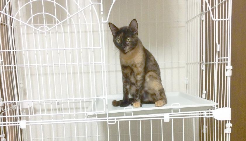 ケージ内の居心地を確認するサビ猫